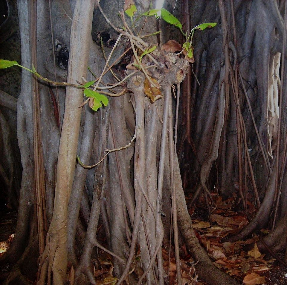Banyan Tree - Photo by Meredith Eastwood