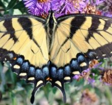 Swallowtail - Photo by Meredith Eastwood