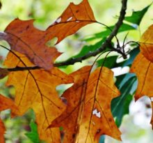 White Oak Leaves - Photo by Meredith Eastwood