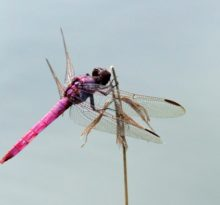 Dragon Fly Dreams - Photo by Meredith Eastwood