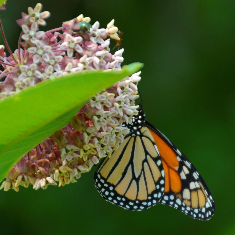 The Monarch Who Followed Me - Photo by Meredith Eastwood