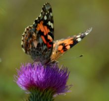Butterfly and Thistle - Photo by Meredith Eastwood
