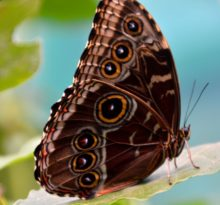 The Owl Butterfly - Photo by Meredith Eastwood