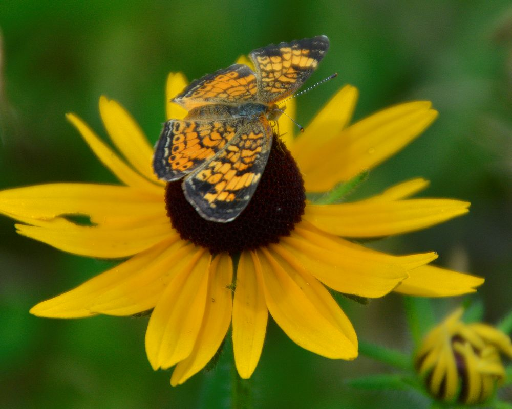 Butterfly and Yellow Flower - Photo by Meredith Eastwood