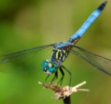 Dreaming the Dragonfly - Photo by Meredith Eastwood