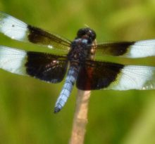 Dragonflies and Parallel Lives - Photo by Meredith Eastwood
