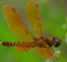 Eastern Amberwing Dragonfly - Photo by Meredith Eastwood