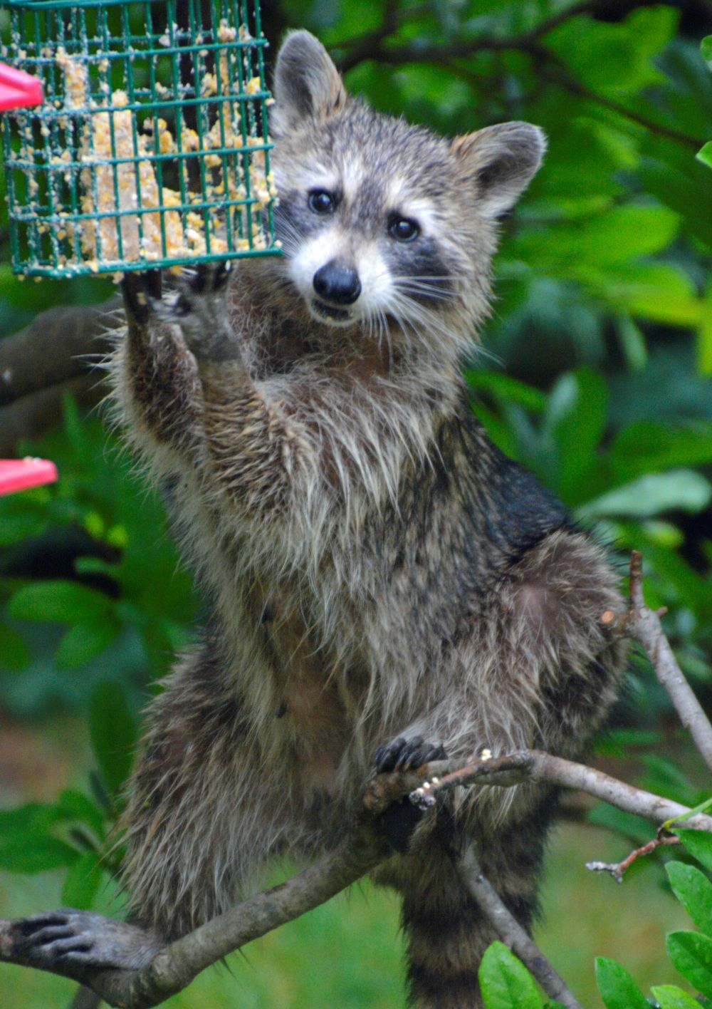 Raccoon - Photo by Meredith Eastwood