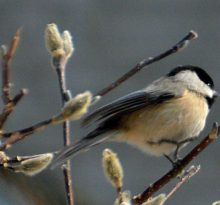 Black-Capped Chickadee - Photo by Meredith Eastwood