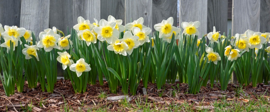 Easter Daffodils - photo by Meredith Eastwood