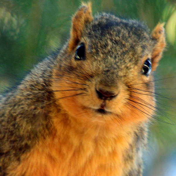 Curious Squirrel - Photo by Meredith Eastwood