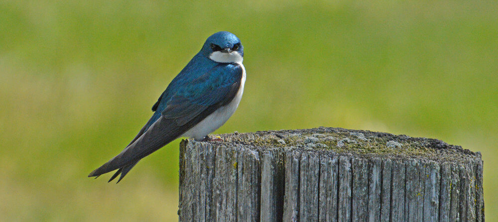 Tree Swallow (iridescent blue head and cape - white breast) on a Post