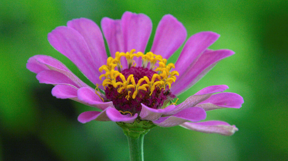 Purple pink flower with delicate petals, close up view