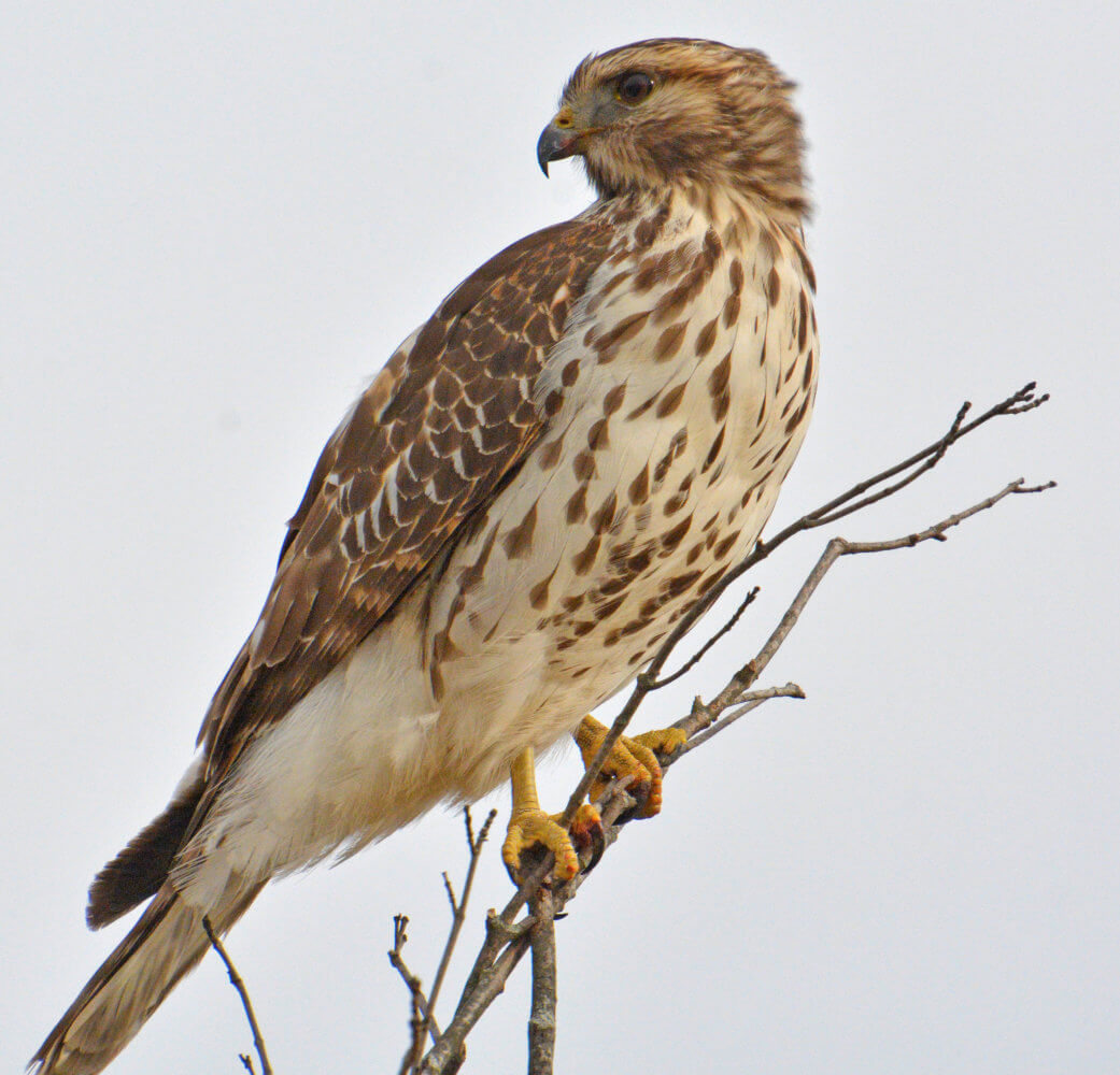A red shouldered hawk, high on a branch looks below searching for prey.