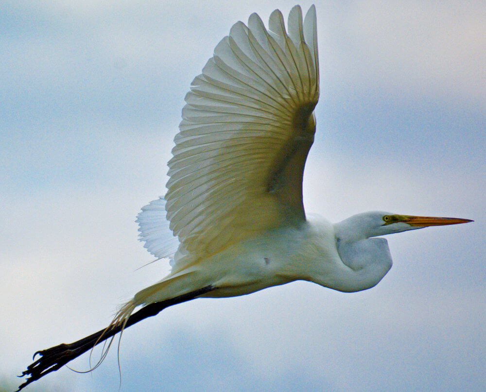 An Egret in flight