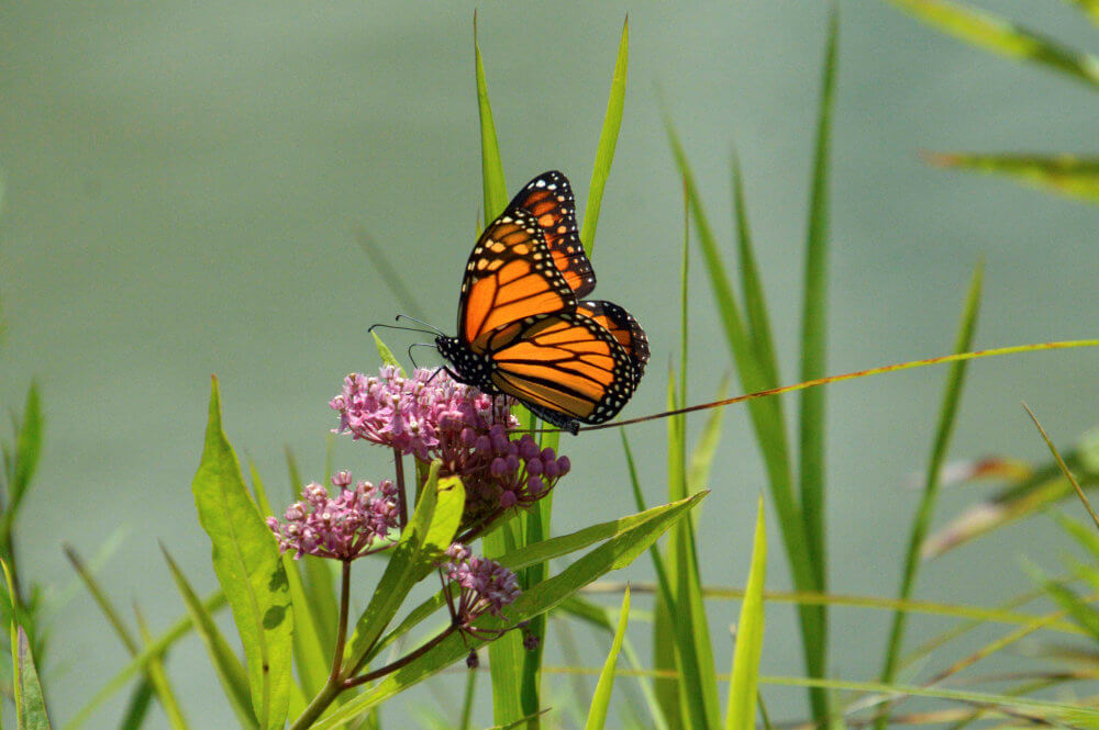 A Monarch Butterfly sipping nectar from a Joe Pye Weed flower