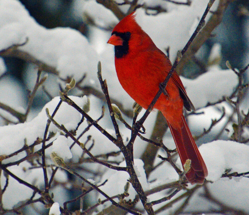 A bright red male Cardinal against a snowy white background