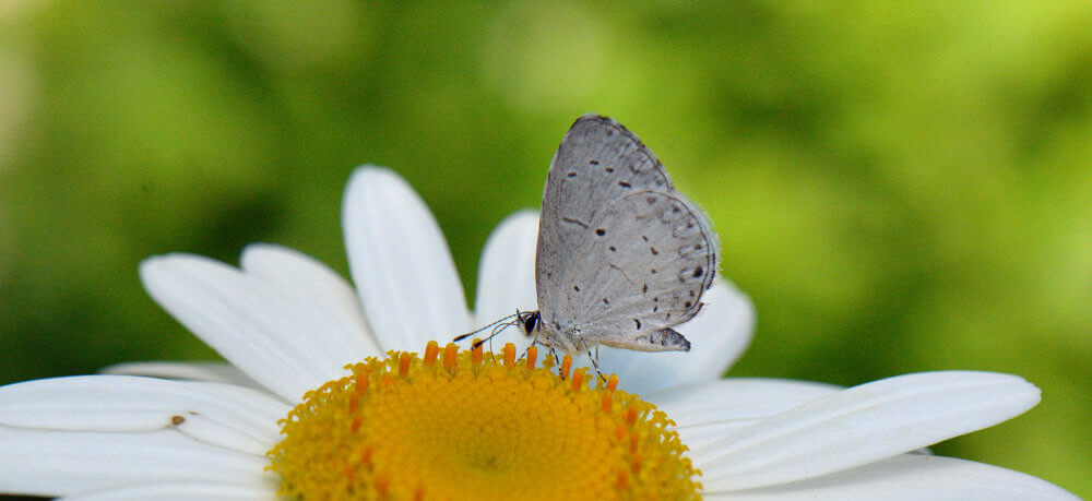 A Summer Azure butterfly drinking nectar on a daisy