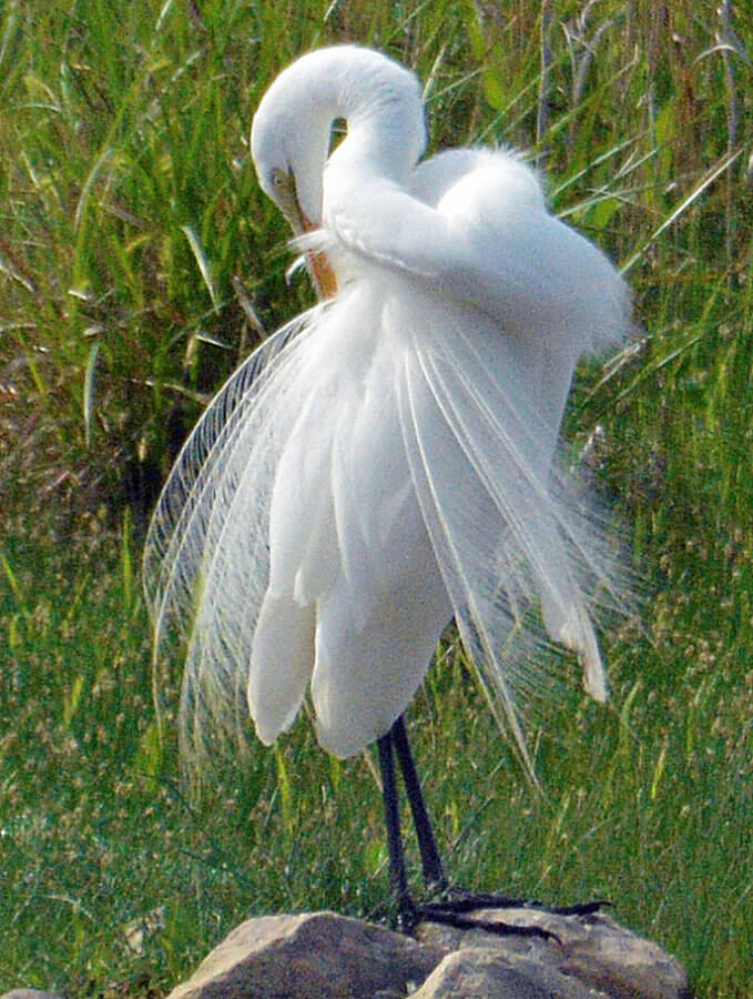 An Egret preening, with lacy wing feathers showing