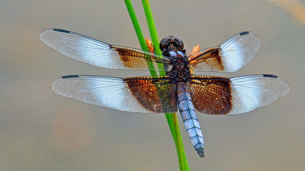 Dragonfly, photo by Meredith Eastwood