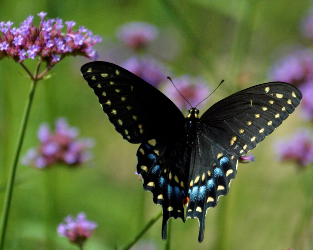 A Eastern Black Swallowtail butterfly against a background of purple flowers