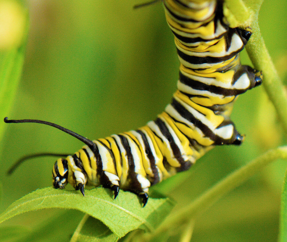 A Monarch caterpillar (black, white, and yellow stripes) transfers from one leaf to another