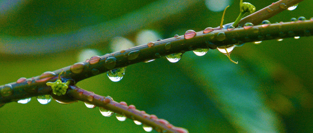 Raindrops clinging to a green twig after a shower