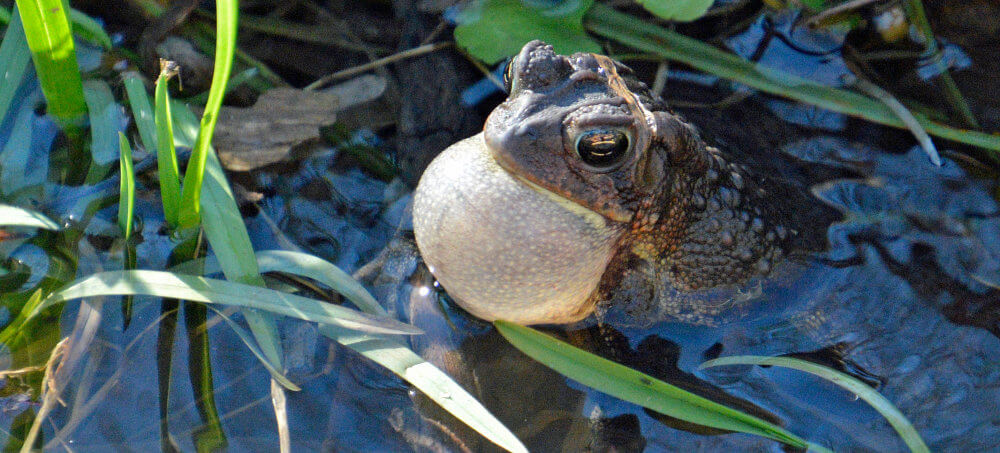 A frog in a marshy bog, vocal sac inflated.
