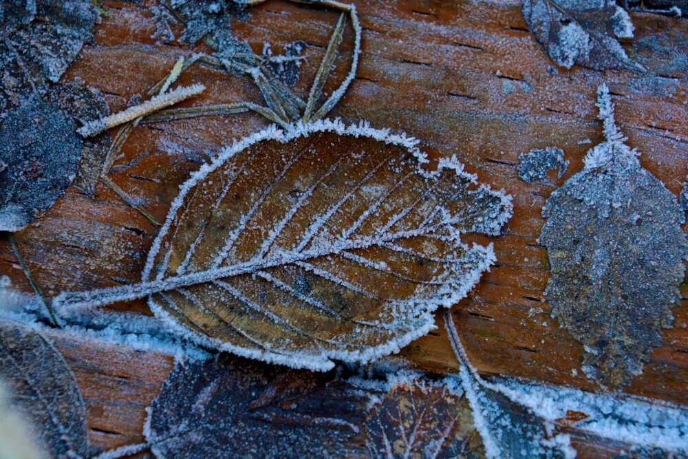 A brown leaf against a brown piece of wood, both tinged with frost