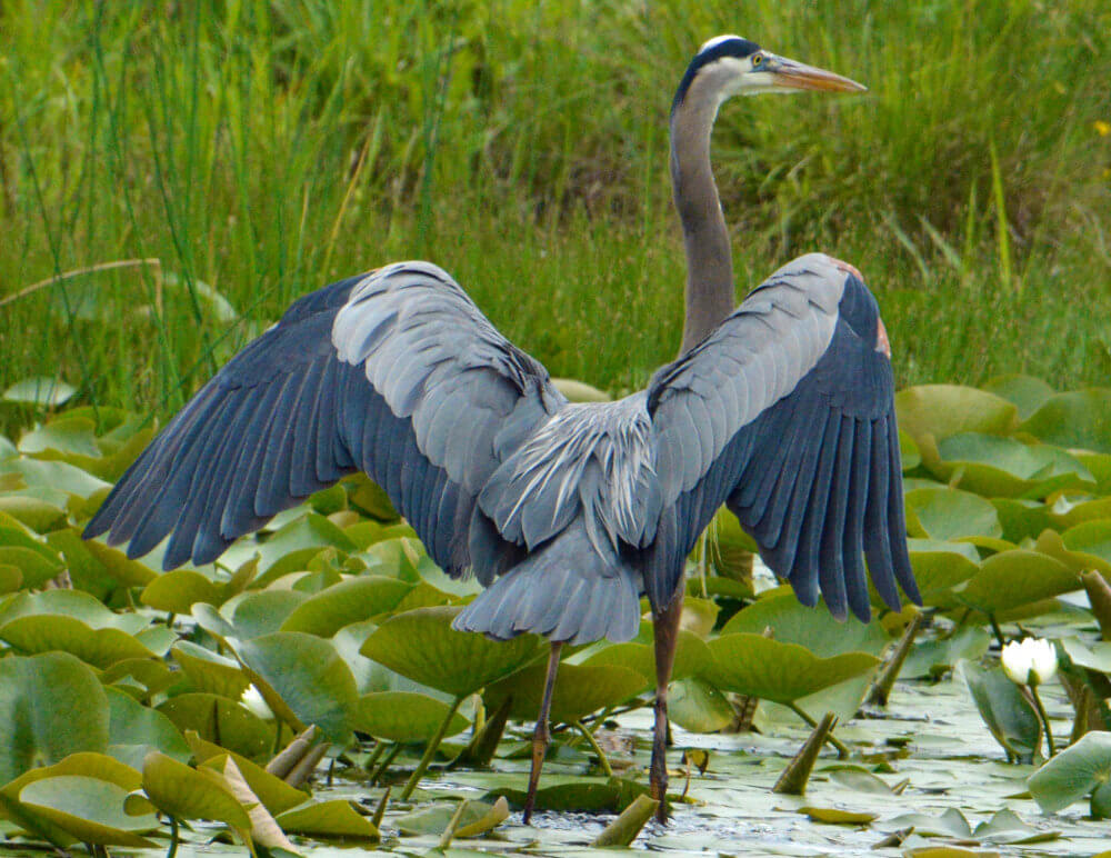 Great Blue Heron with wings partly unfurled