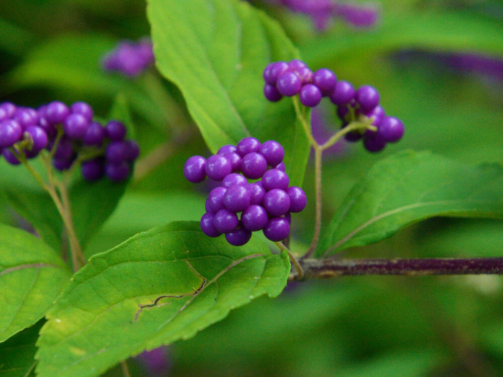 Bright purple berries against bright green leaves, the fruit of the American Beautyberry bush
