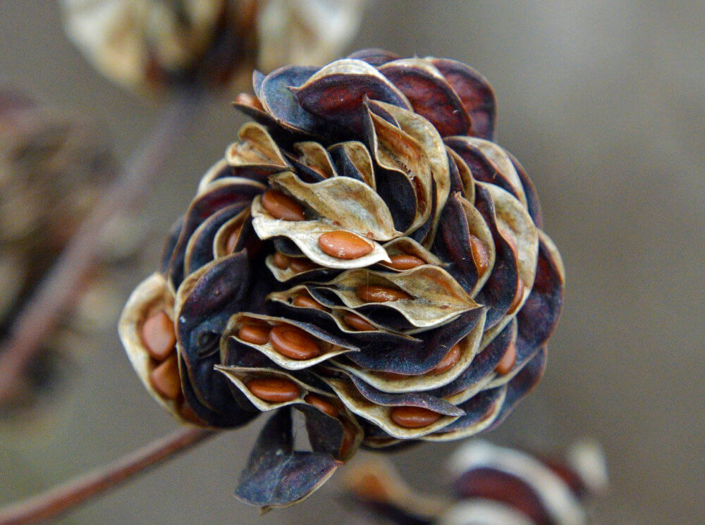 Close up of an interesting multi-layer seed pod