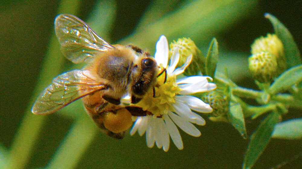 A honey bee on a small white flower, with a full pollen sack